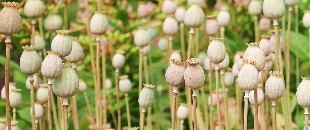 poppy plant, opioid addiction